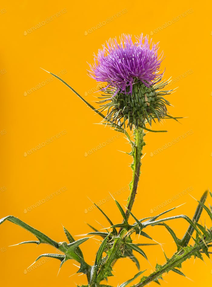 Thistle in front of an orange background