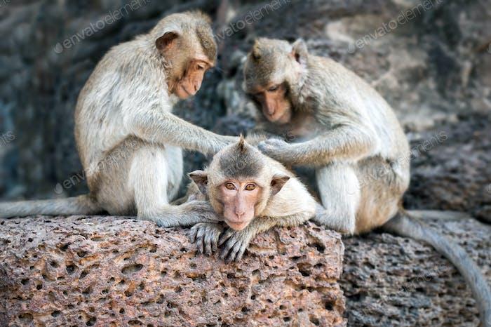 Langschwanzmakaken Affen entspannen in Thailand