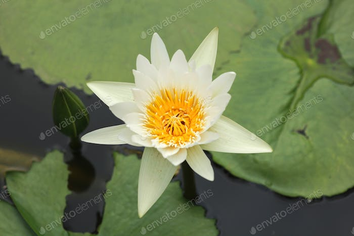 Blooming lotus flower or water lily flower