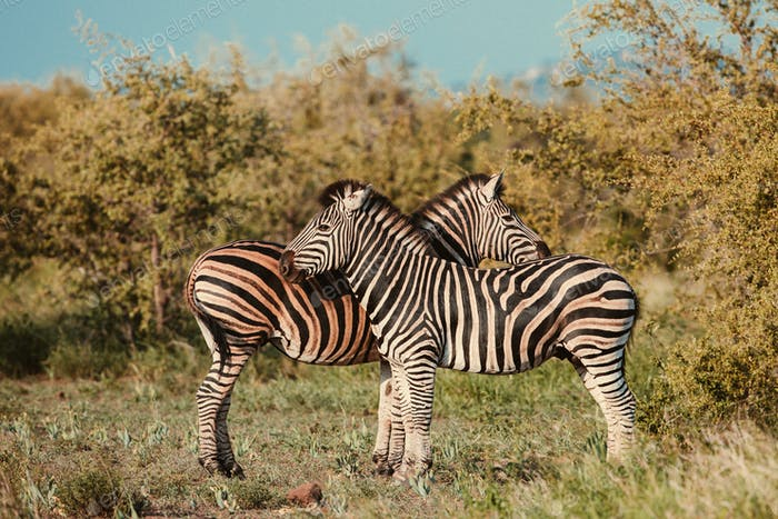 Two Common Zebra grooming vintage