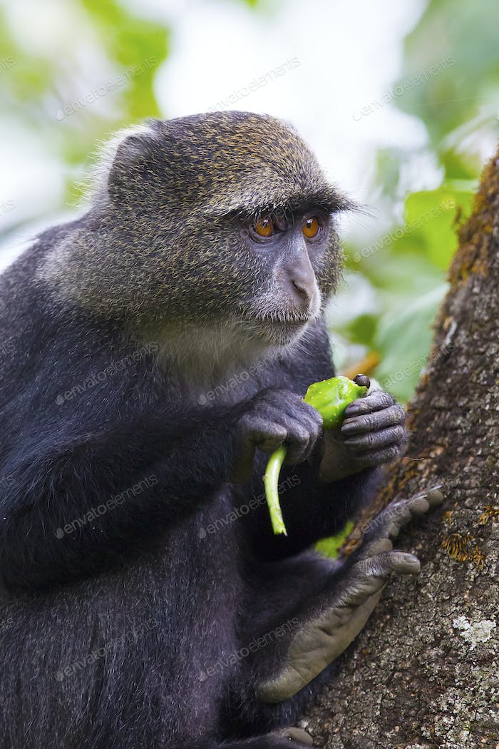 Blue monkey eating in the tree