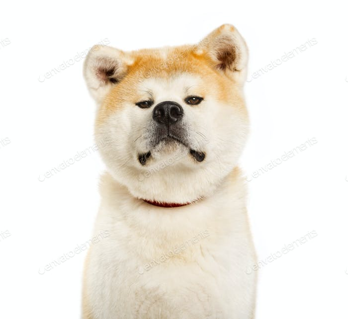 akita inu looking at camera against white background