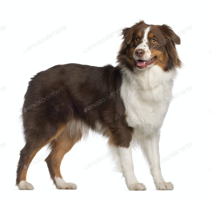 Portrait of Australian Shepherd, 1 year old, standing in front of white background