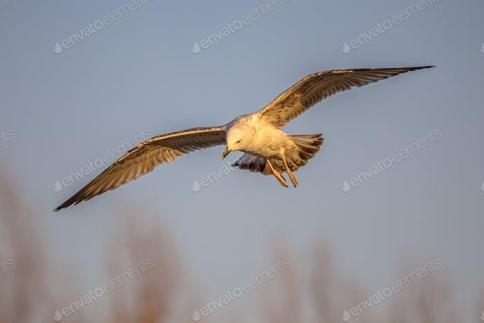 Yellow-legged gull flying