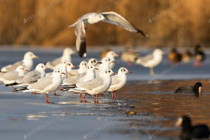 Flock of black-headed gull standing on ice in winter