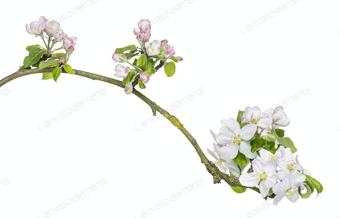 Branch of Japanese cherry, Prunus serrulata, blossoming, isolated on white