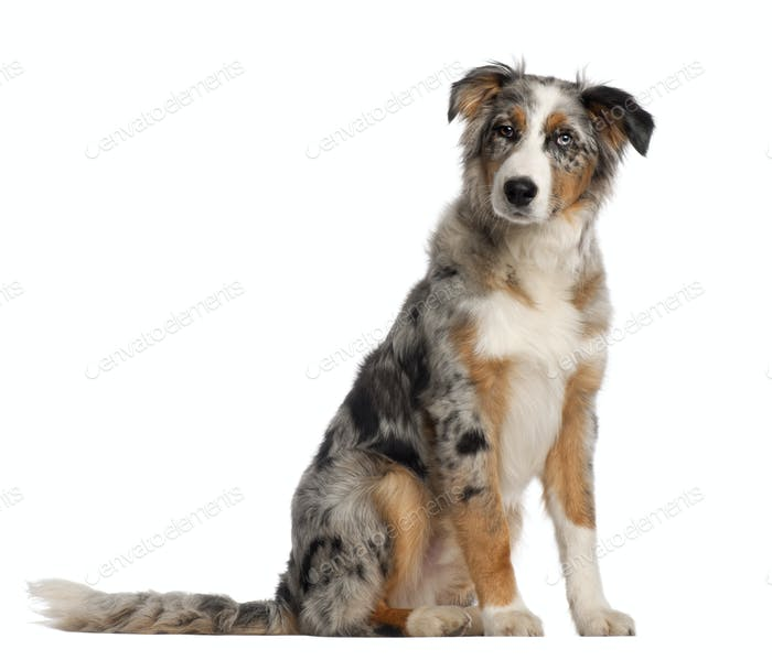 Portrait of Australian Shepherd, 5 and a half months old, sitting in front of white background