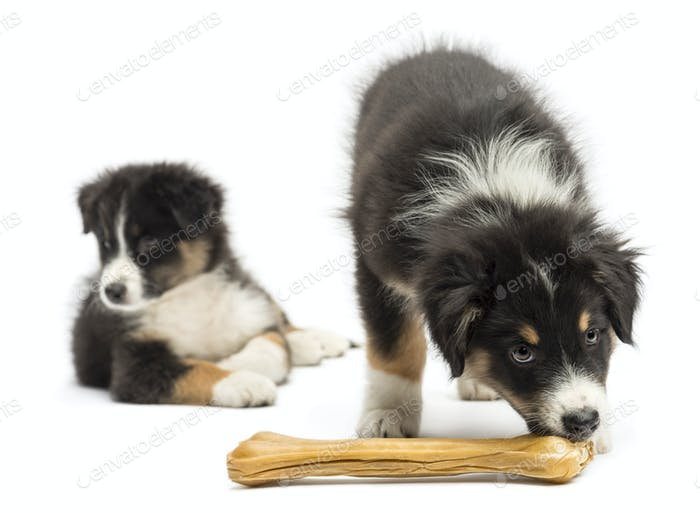 Two Australian Shepherd puppies, 2 months old,  one is eating knuckle bone as other looks away