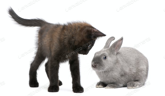 Black kitten playing with rabbit in front of white background
