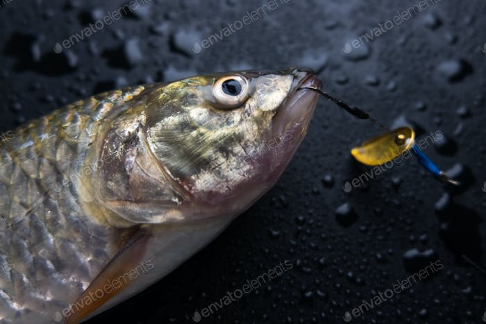 Fish and hook in mouth