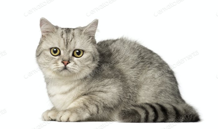 British Shorthair kitten lying and looking at the camera