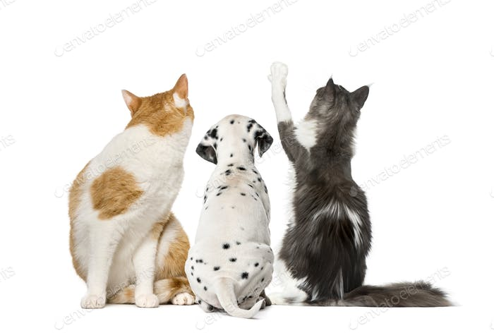 Rear view of cats and Dalmatian puppy, isolated on white