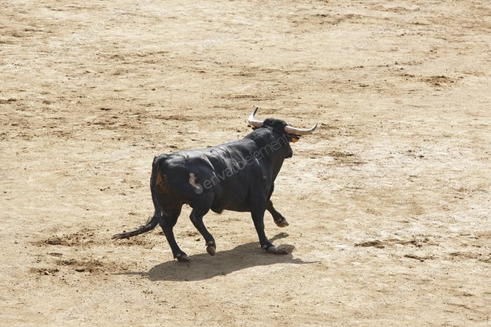 Fighting bull in the arena. Bullring. Toro bravo. Spain. Horizontal