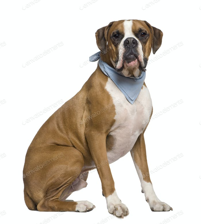 Thumbnail for Boxer wearing handkerchief, 2 years old, sitting in front of white background