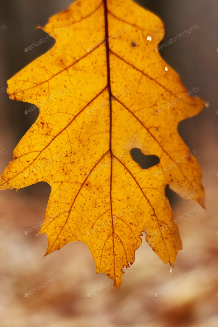 beautiful yellow autumn leaf with heart shaped tear hanging