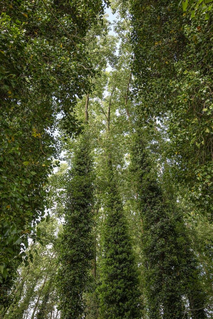 Bäume mit viel Efeu