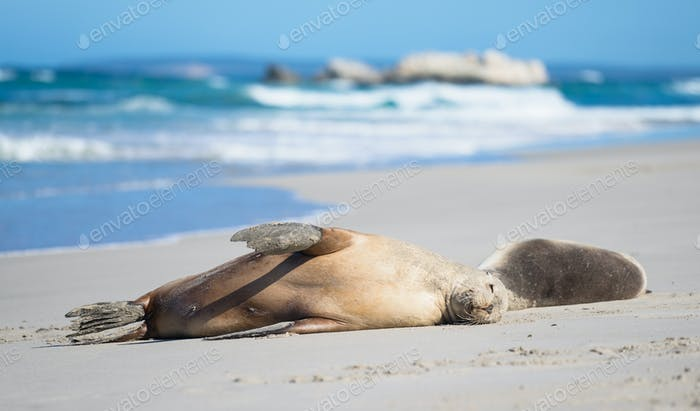 Sea Lions Sleeping