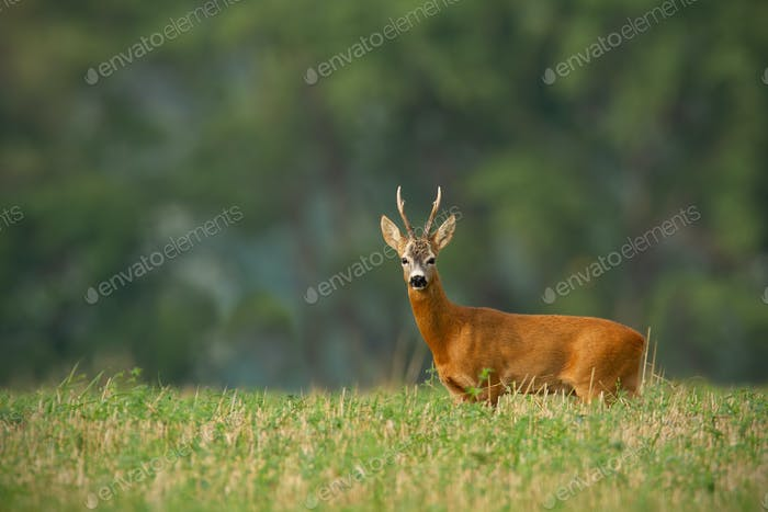 Roe deer buck with clear blurred background and copy space around