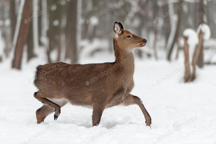 Thumbnail for Deer in winter forest