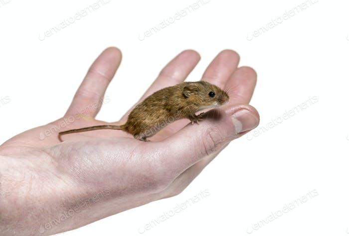 Eurasian harvest mouse on hand, Micromys minutus, in front of white background