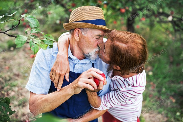 A senior couple in love kissing when picking apples in orchard in autumn.