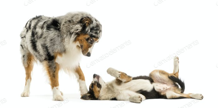 Border collie and Australian Shepherd playing together, isolated on white