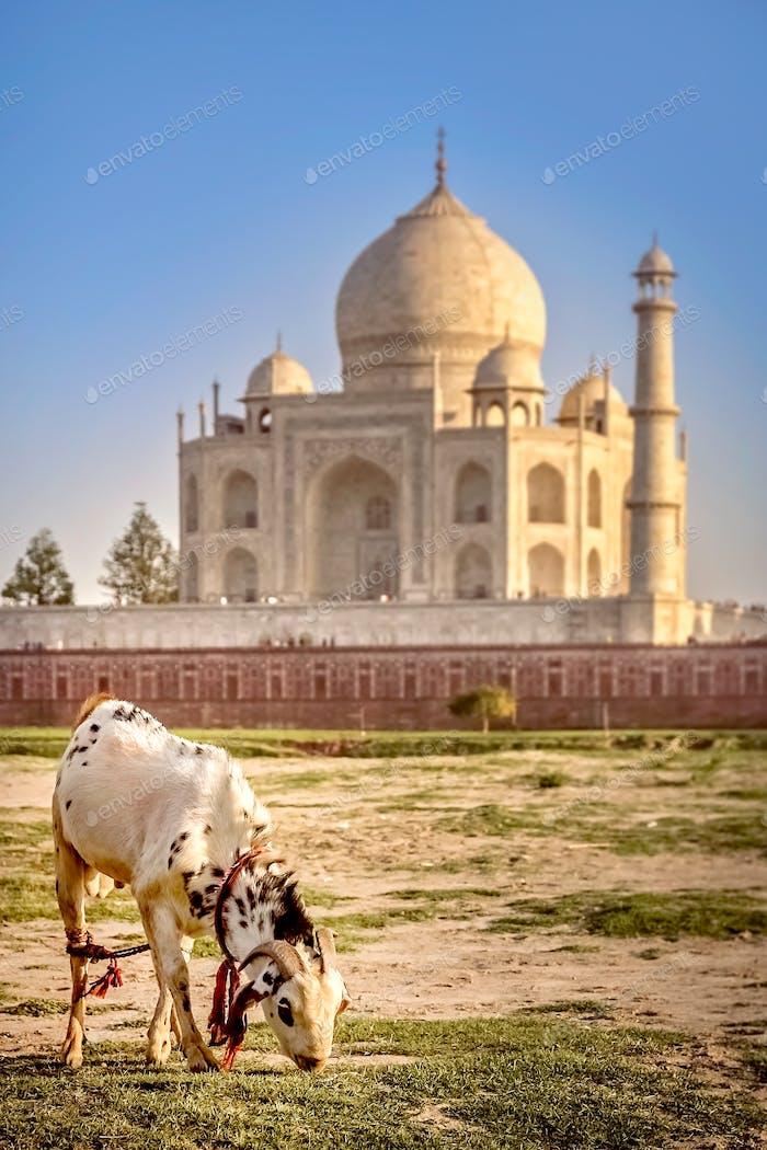 Goat in front of Taj Mahal