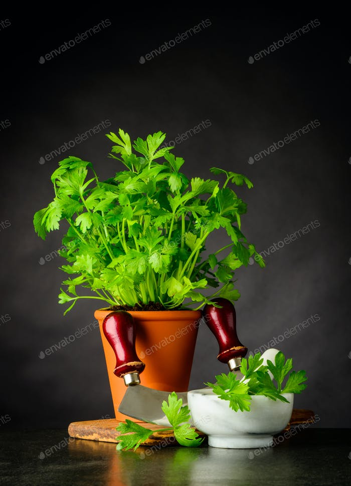 Fresh Parsley Growing in Pot with Mezzaluna in Stil Life