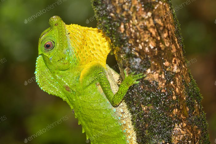 Hump-nosed Lizard, Sinharaja National Park Rain Forest, Sri Lanka