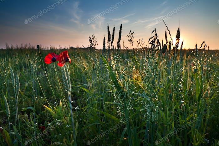 poppy flowers and oat on field
