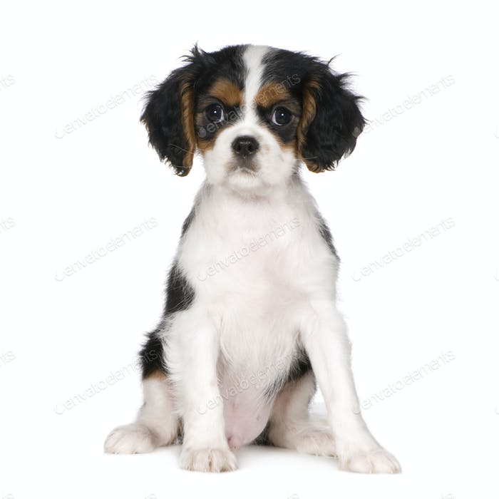 Cavalier King Charles Spaniel (3,5 months)