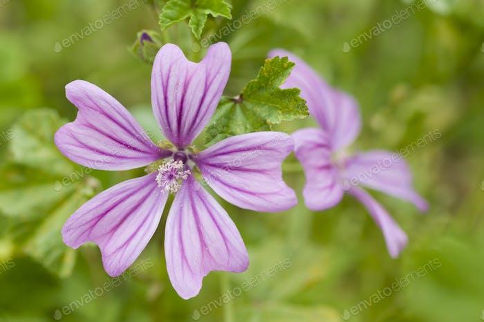 Flowers of mauve