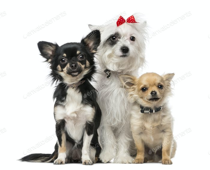 group of Crossbreed dog and chihuahuas