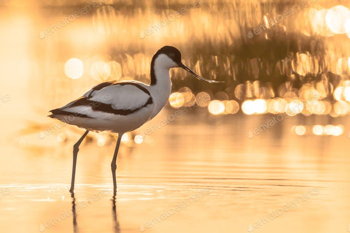 Pied avocet in orange backlight