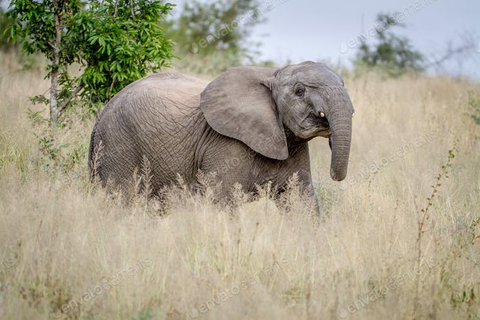 Elephant being cheeky in the grass.