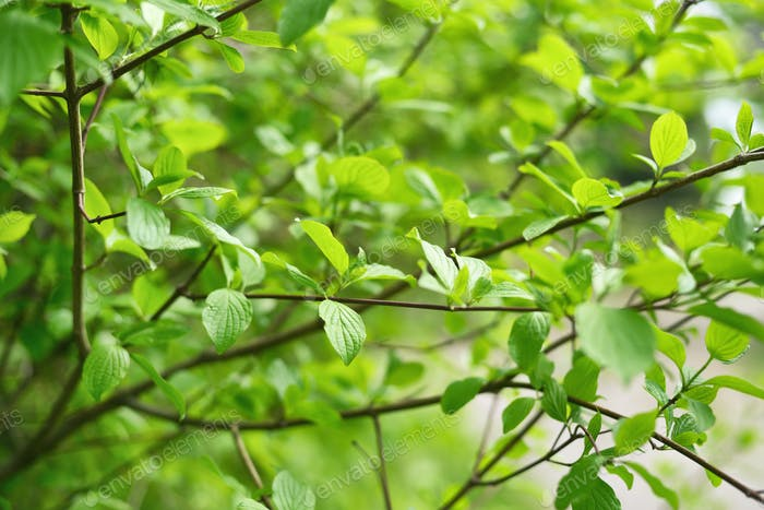 Green leaves in springtime. Shallow depth of field