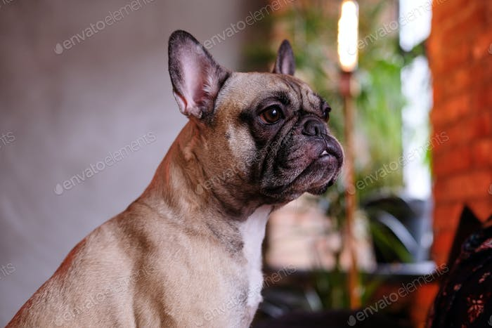 Close-up portrait of a cute purebred pug in room with loft interior.