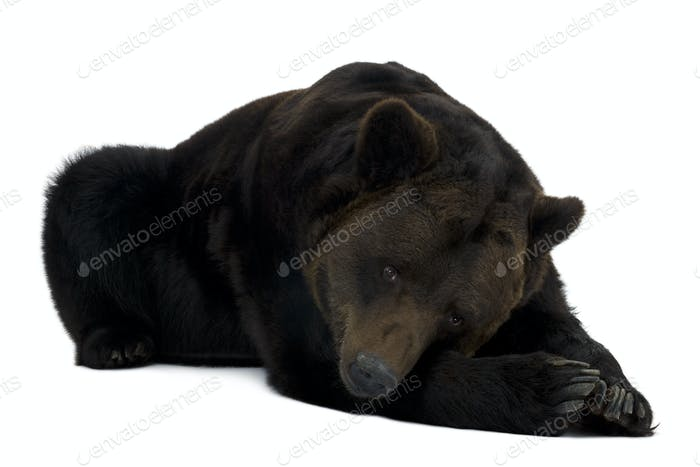 Siberian Brown Bear, 12 years old, lying in front of white background