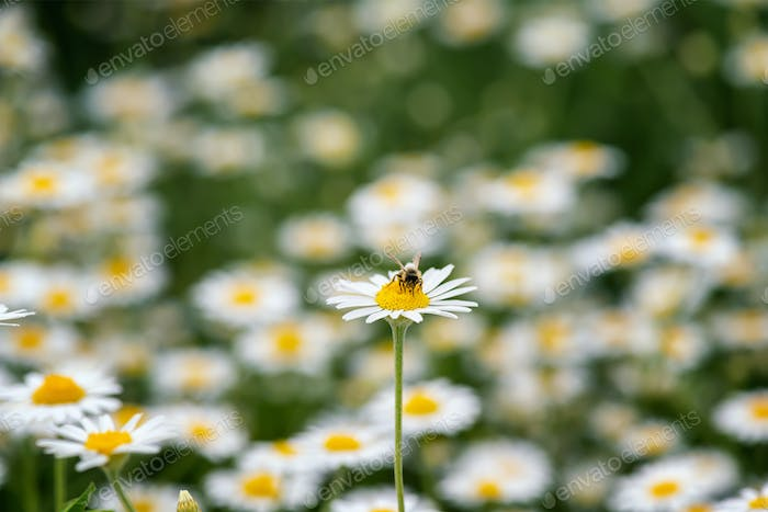 Daisy flower with a honey bee close up