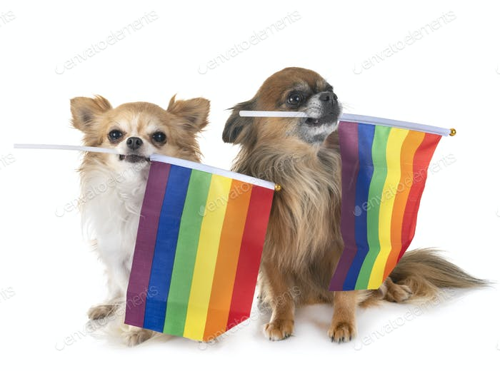 gays chihuahua in studio