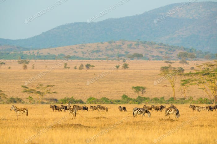 Herds of wild animals grazing in Serengeti