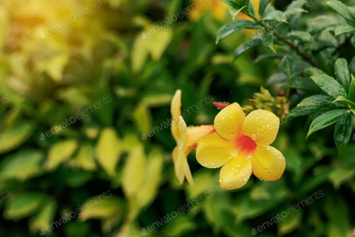 Yellow flowers in rainy season photo by start08 on envato elements yellow flowers in rainy season mightylinksfo