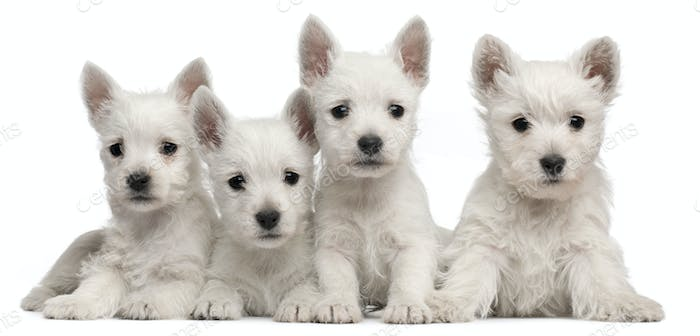 Four West Highland Terrier puppies, 7 weeks old, in front of white background