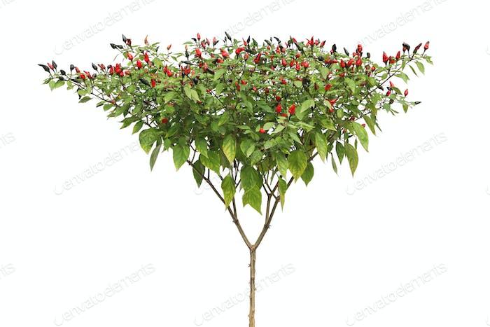 ripe capsicum frutescens