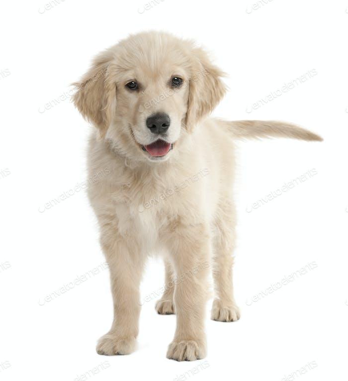 puppy Labrador (4 months old)