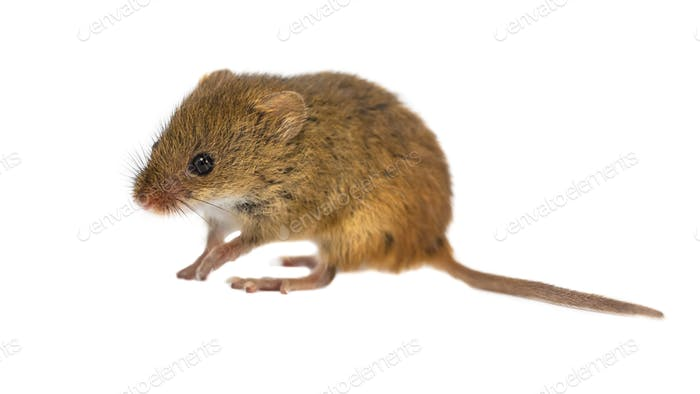 Cute Harvest Mouse on white