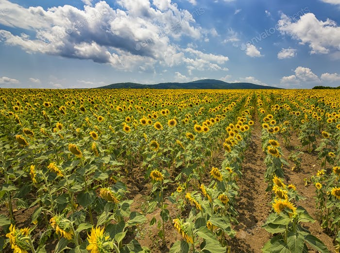 Sonnenblumen-Linien