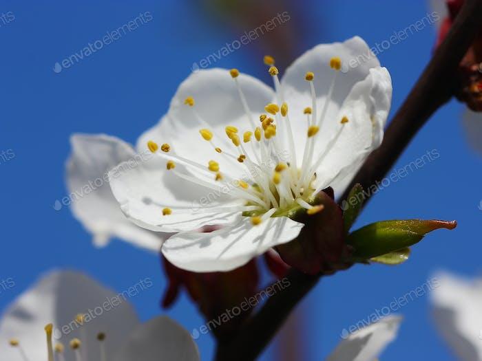 weiße Blumen blühen auf Ast gegen blauen Himmel