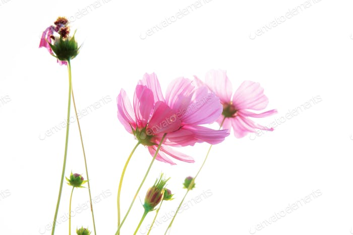 Pink cosmos on white background