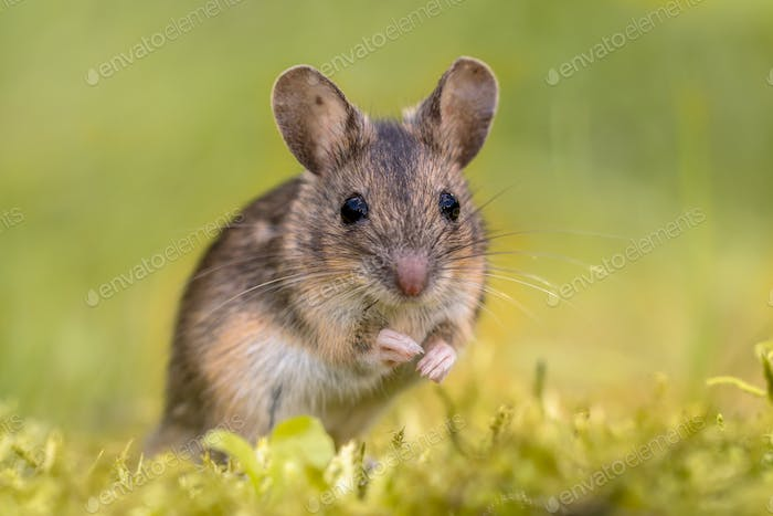 Wood mouse on green background